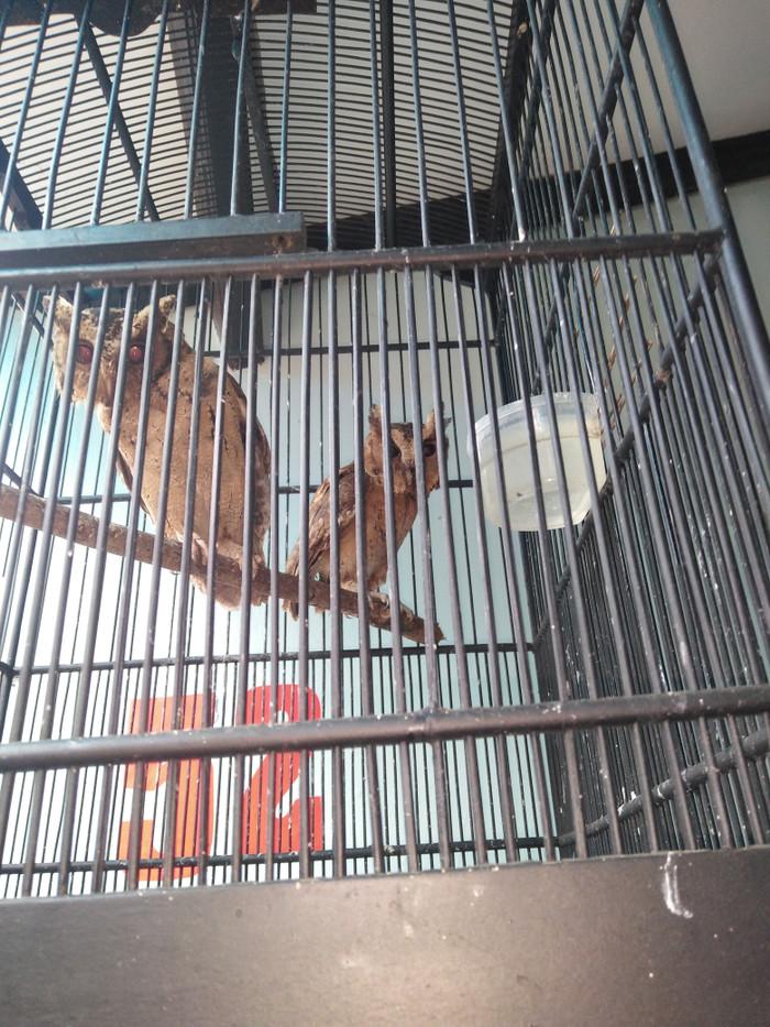 harga Burung hantu celepuk Tokopedia.com