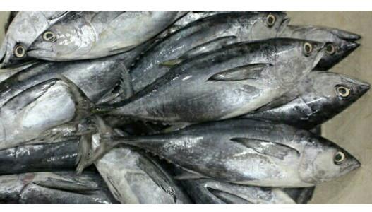 Jual Ikan Tongkol Kota Bandung Ikan Murah Segar Tokopedia