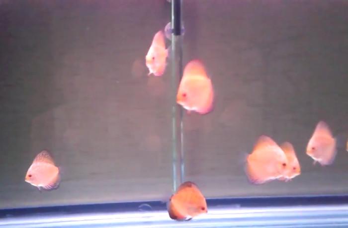 harga Ikan hias discus pigeon ukuran 2  up Tokopedia.com