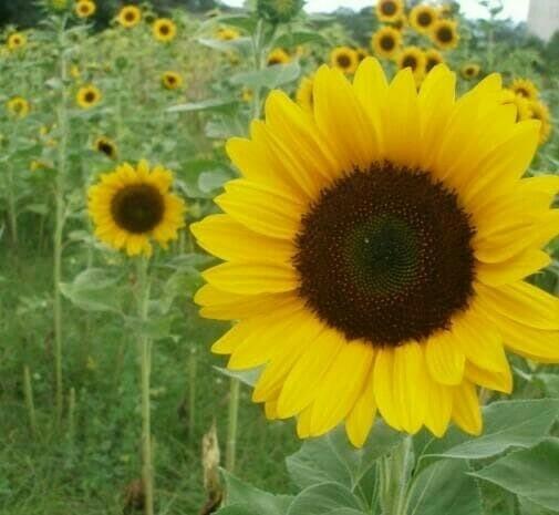 Jual Bibit Tanaman Bunga Matahari Kab Malang Bibit Ageng Shop Tokopedia