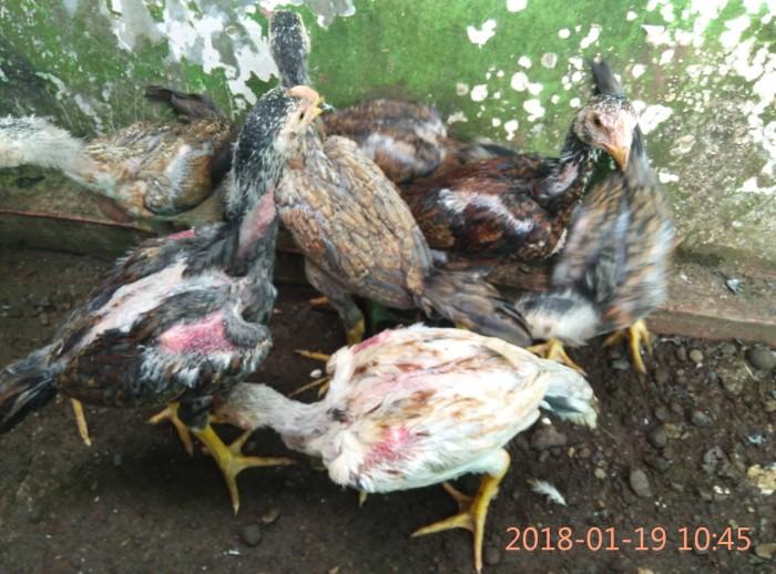 93 Gambar Ayam Umur 2 Bulan Terbaik