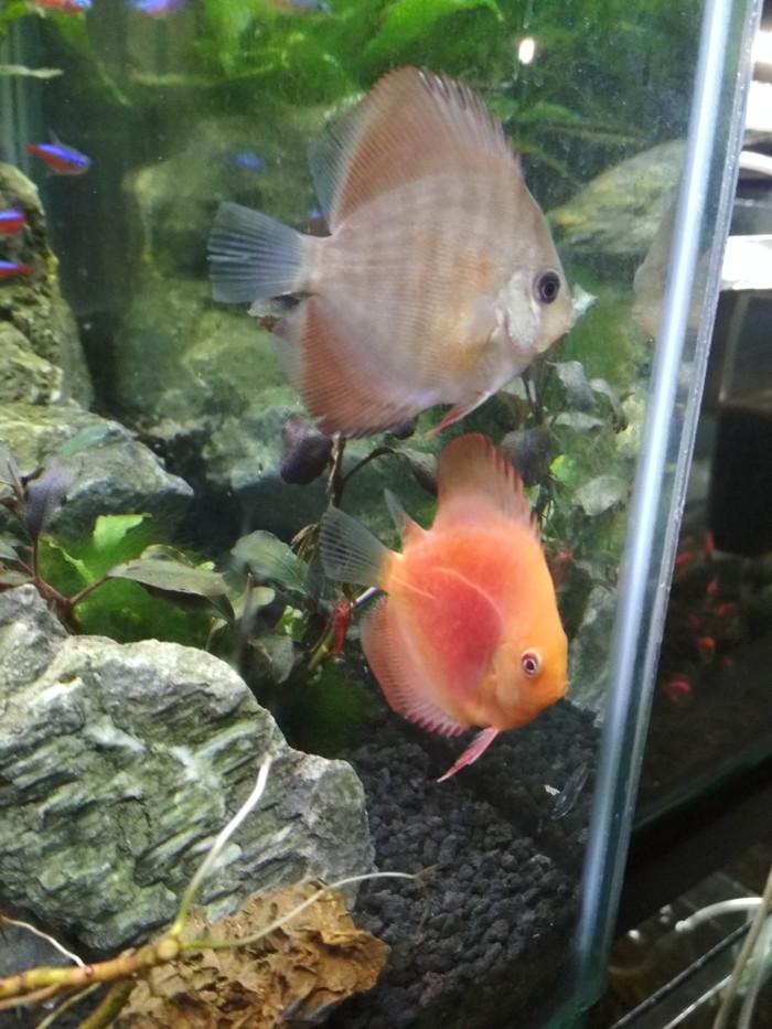 harga Ikan discus kondisi sirip robek Tokopedia.com