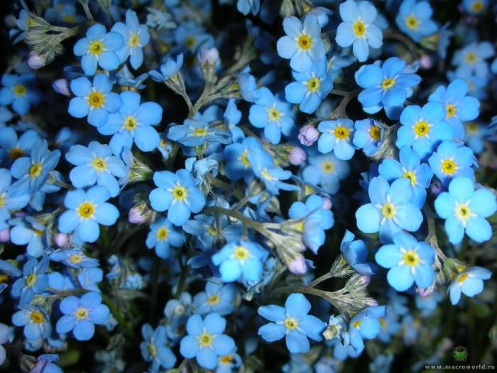 Benih Bunga Forget Me Not Flower myosotis alpestris Sea Sky Blue