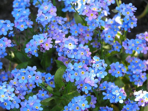 Benih Bunga Forget Me Not Flower myosotis alpestris Sea Sky Blue