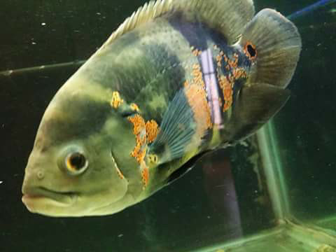 harga Ikan oscar batik kuning Tokopedia.com
