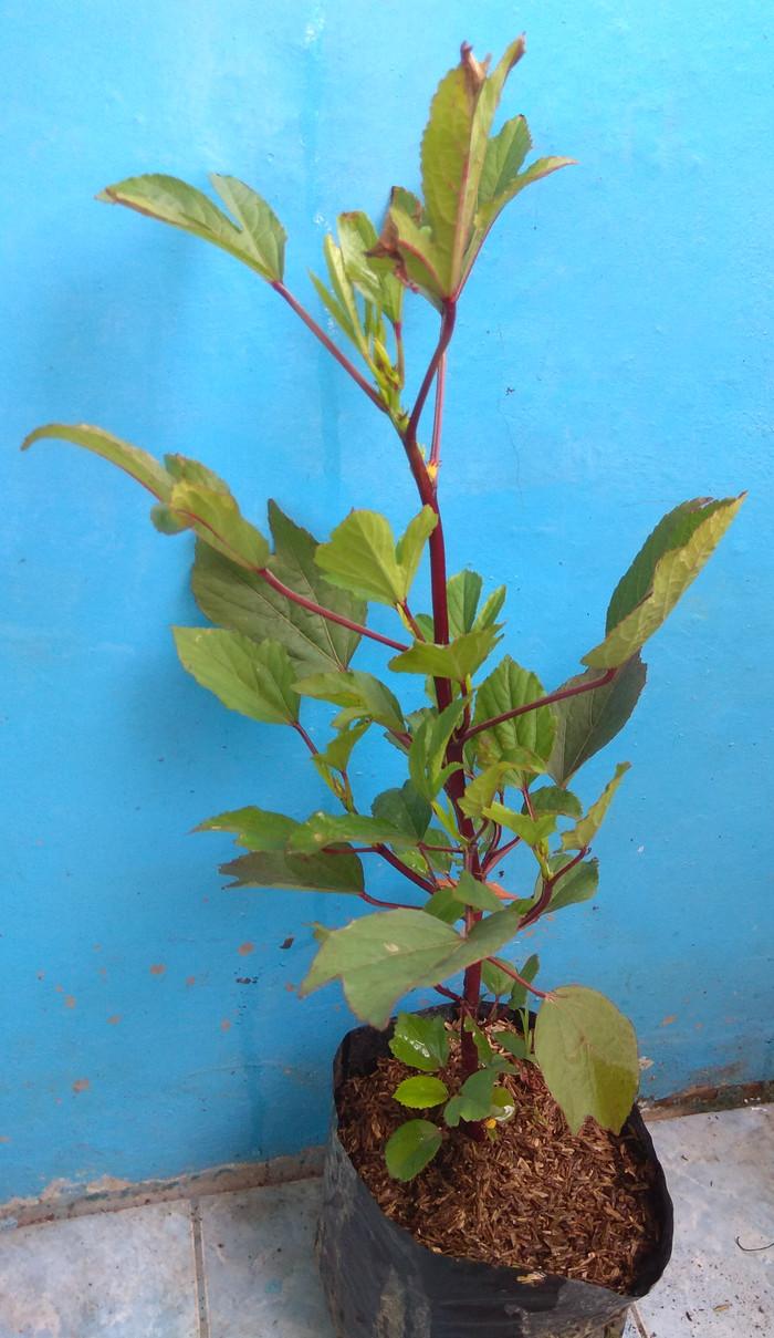 Jual Tanaman Bunga Rosela Kota Surabaya Mix Flora