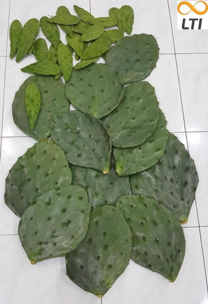 harga Murah kaktus centong besar - kaktus opuntica pakan kura-kura darat Tokopedia.com
