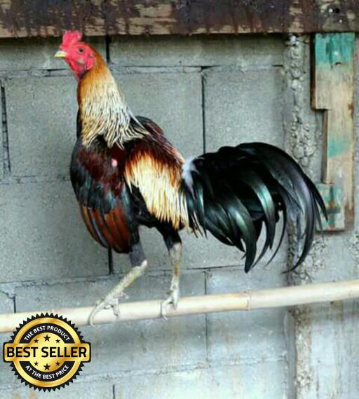 5000 Gambar Ayam Birma Ori HD