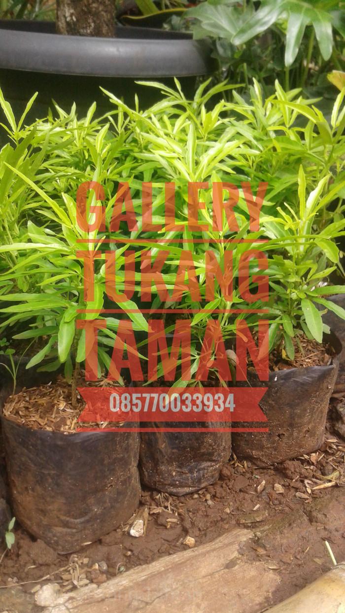 Jual Jual Tanaman Zodia Zodiak Anti Nyamuk Pohon Pengusir Nyamuk Kab Bogor Gallery Tukang Taman
