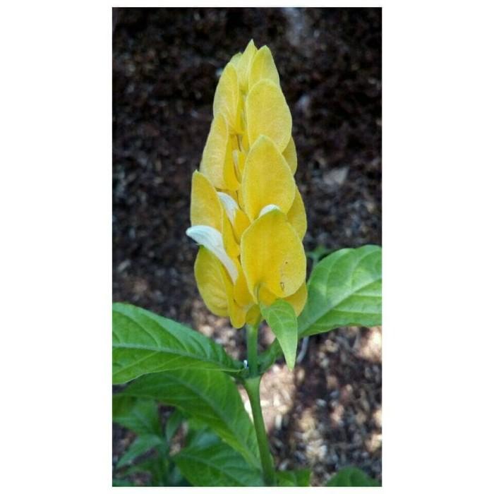 tanaman hias bunga lolipop bunga lilin tanaman lolipop indoor outdoor