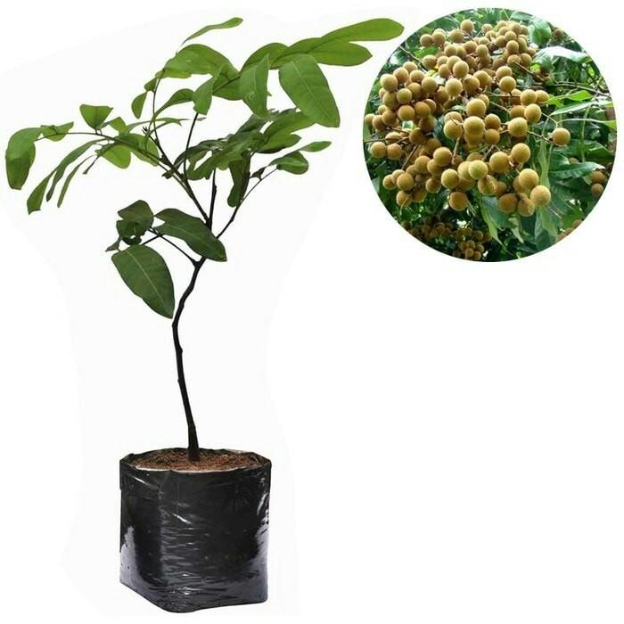 harga Bibit kelengkeng aroma durian Tokopedia.com