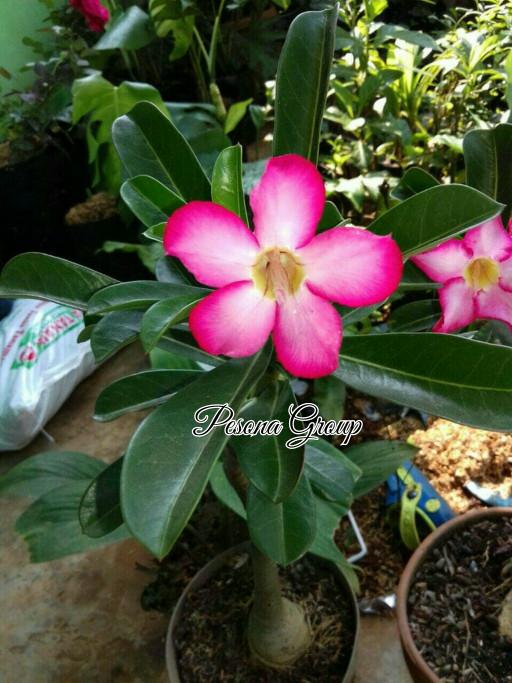 Jual Tanaman Bunga Adenium Pink Tanaman Kamboja Bali Kab Bogor Pesona Tanaman Tokopedia