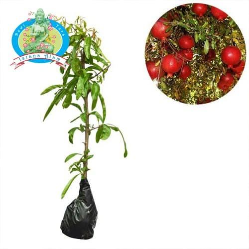 harga Bibit tanaman pohon buah delima merah - bibit hidup bukan biji Tokopedia.com
