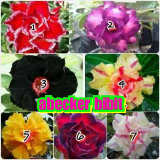Download 57 Koleksi Gambar Macam Macam Bunga Kamboja Jepang Paling Cantik HD
