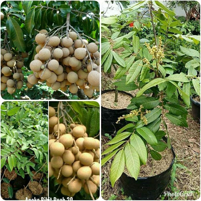 harga Bibit kelengkeng aroma durian sedang berbunga berbuah murah Tokopedia.com