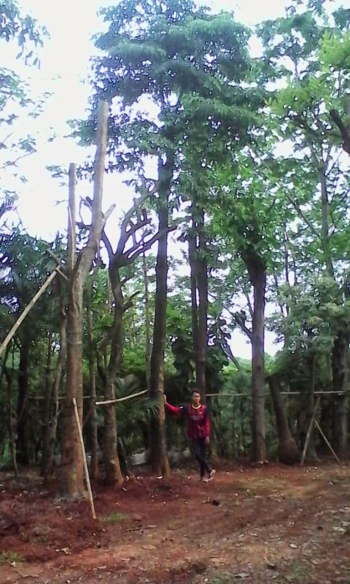 Jual Jual Pohon Pule Pohon Pulai Kota Tangerang Penjualpohonpelindung