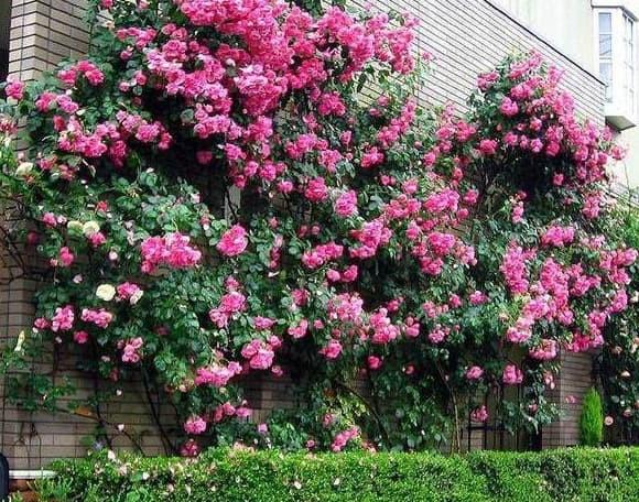 Foto Produk Biji Benih Bibit Mawar Rambat Climbing Rose Merambat dari Biji Benih