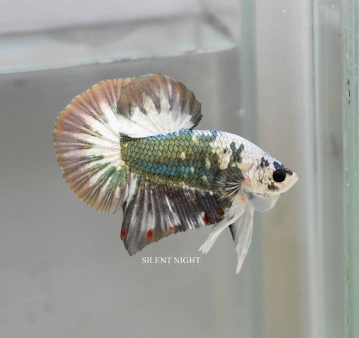 Download 8300 Gambar Ikan Cupang Plakat Terbaru