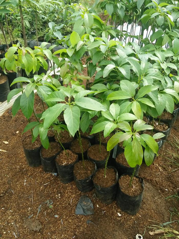 harga Bibit pohon alpukat hawai jumbo Tokopedia.com