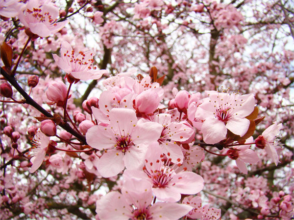 Benih   Bibit   Biji Bunga Sakura (Japanese Cherry Blossoms) - IMPORT JAPAN 4033420d5c