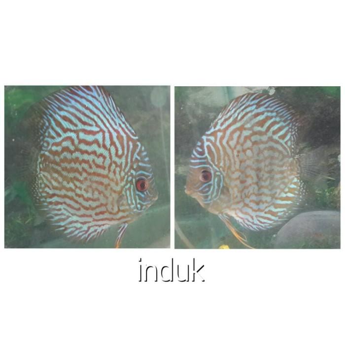 harga Ikan discus / ikan hias murah Tokopedia.com