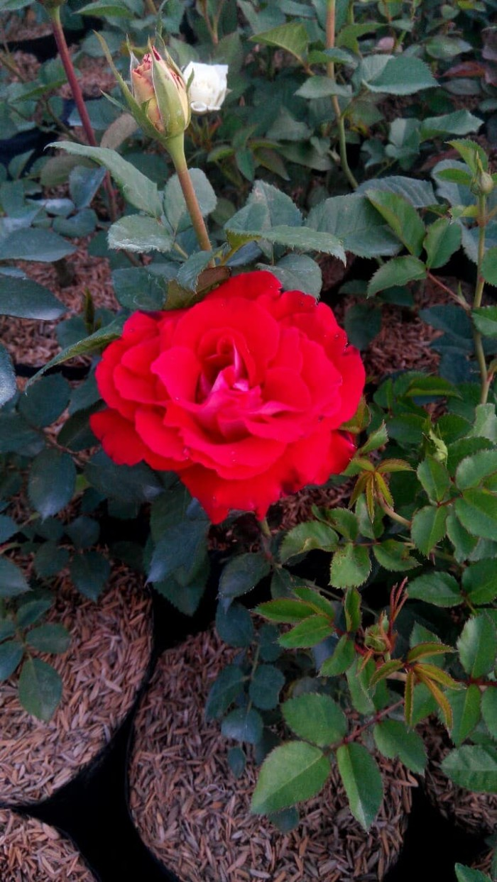 Gambar Tanaman Hias Bunga Mawar Gambar Bunga