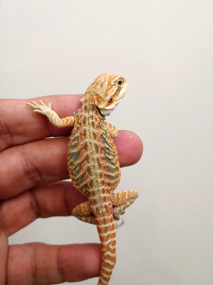 harga Bearded dragon citrus hypo leatherback het translucent Tokopedia.com