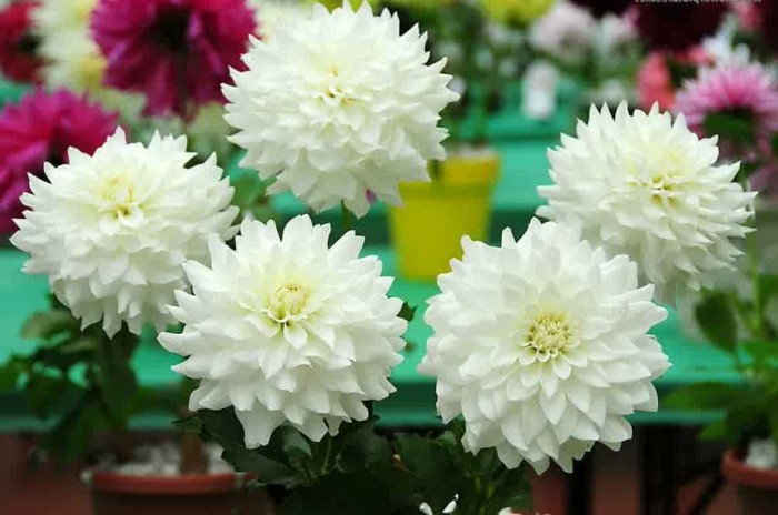 Jual Bibit Tanaman Bunga Dahlia Putih Kab Kediri Flamboyantoserba Tokopedia
