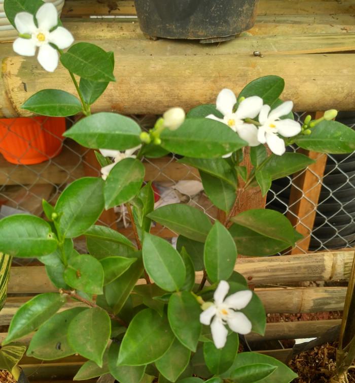 Jual Tanaman Jasmine Tanaman Hias Bunga Jasmine Kab Bogor Alamanda Landscape Tokopedia