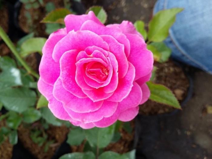 200 Gambar Bunga Mawar Full Hd Hd Terbaru Infobaru