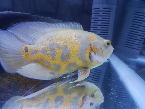 harga Ikan oscar albino big size indukan hias aquarium kolam ikan aquascape Tokopedia.com