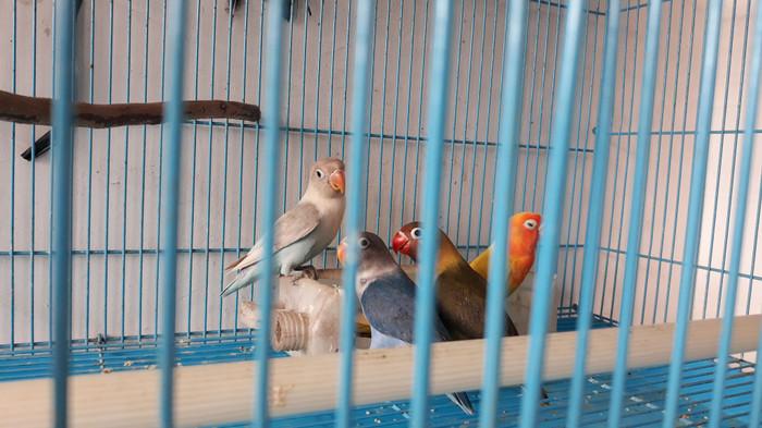 harga Lovebird mangsixpasbirxolive Tokopedia.com