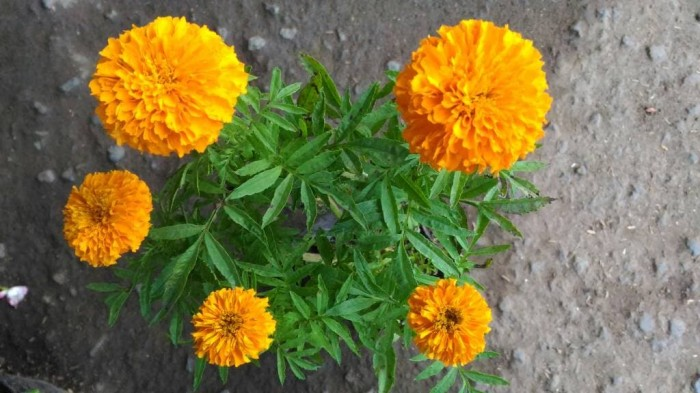 Jual Bunga Marigold Jakarta Utara Light Plants Tokopedia