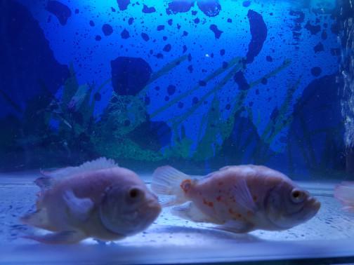 harga Ikan oscar albino slayer size medium hias aquarium aquascape kolam Tokopedia.com