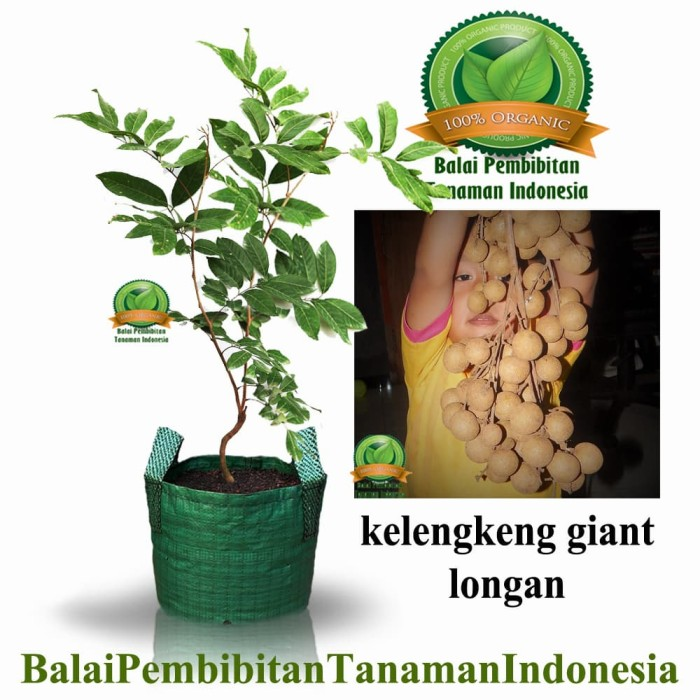 harga Bibit kelengkeng giant longan / bibit buah / tanaman Tokopedia.com