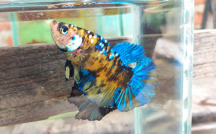 Jual Ikan Cupang Yellow Galaxy Kab Brebes Khansa Shop Cileungsi Tokopedia