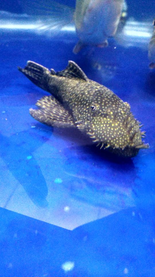 Jual Brushmoth Ikan Sapu Sapu Hias Pleco Kab Bogor BlackBeAT