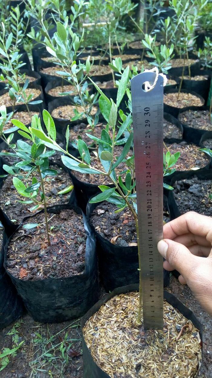 Jual Bibit Pohon Zaitun Tinggi 30cm Tanaman Sunnah Kaya Manfaat Kab Bogor FN Seller
