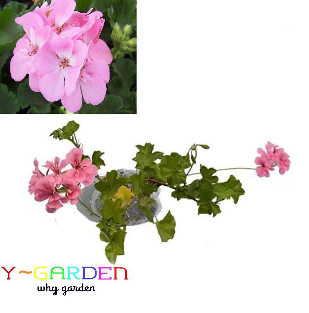 Geranium Barbie Pink / Pelargonium / Bibit Tanaman Bunga Hias Gantung