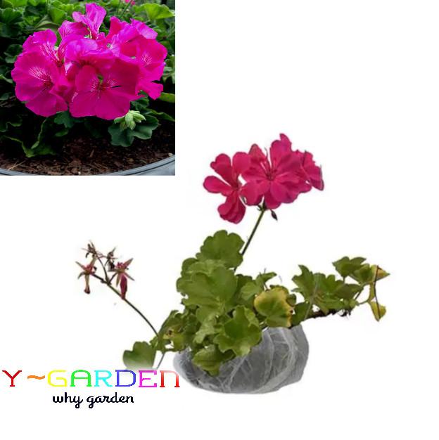 Pink Fuchsia Geranium / Pelargonium / Bibit Tanaman Bunga Hias Cantik