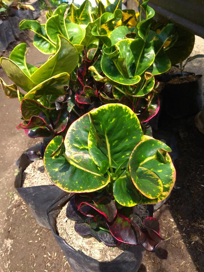 Jual Tanaman Bunga Puring Apel Washington Kota Batu Desi Farm Gardening Tokopedia