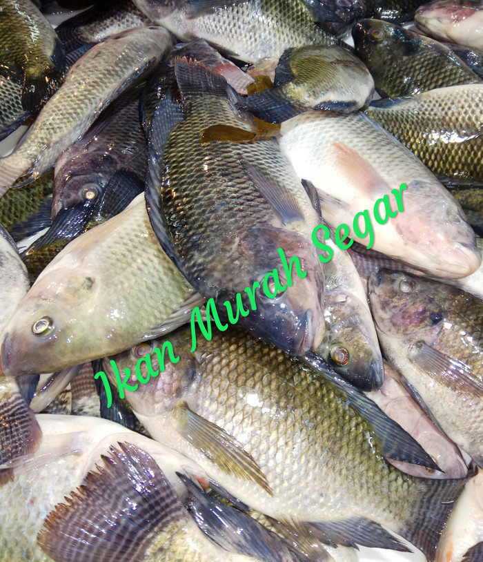 Download 54 Koleksi Gambar Ikan Nila Beserta Keterangannya HD Terpopuler