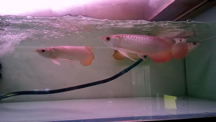 harga Ikan arwana super red silangan golden crossback 25 cm serti & chip Tokopedia.com
