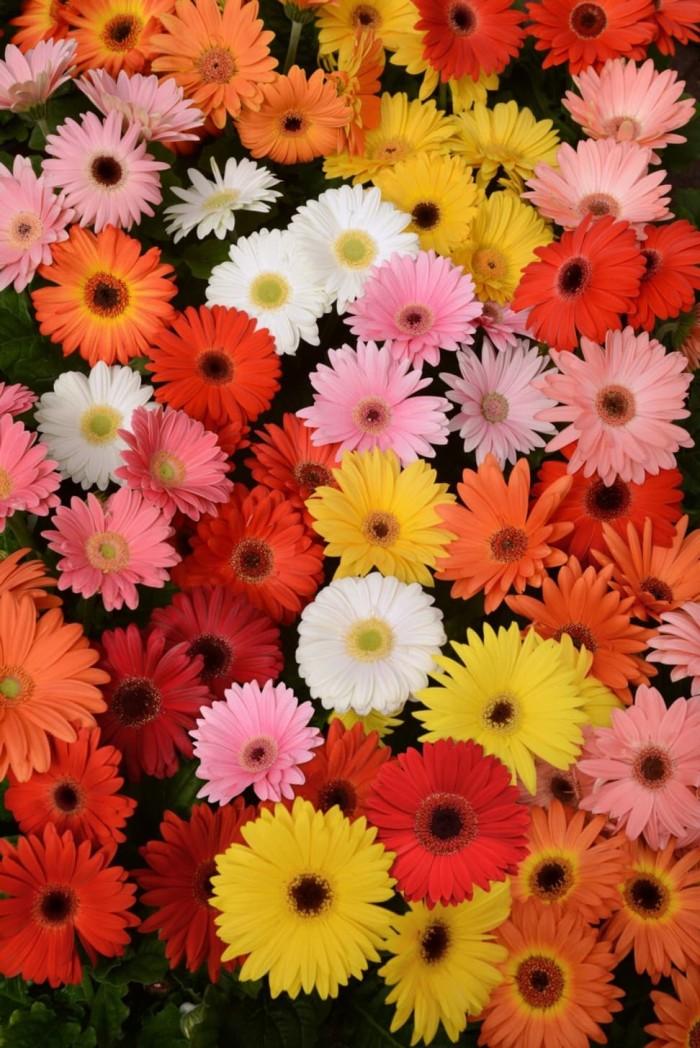 55 Gambar Bunga Gerbera Paling Keren Gambar Pixabay