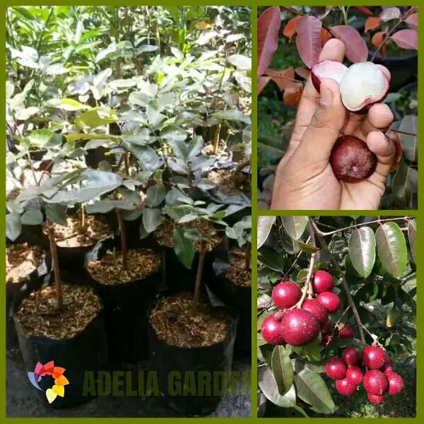 harga Bibit tanaman kelengkeng merah - red ruby longan Tokopedia.com