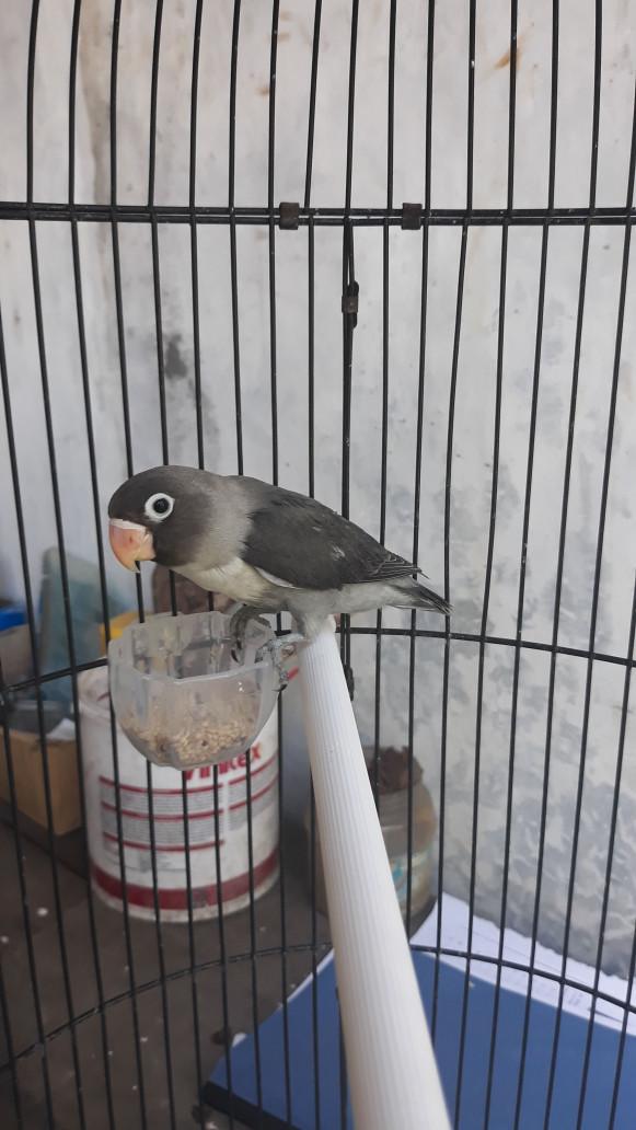harga Burung lovebird betmen prospek Tokopedia.com