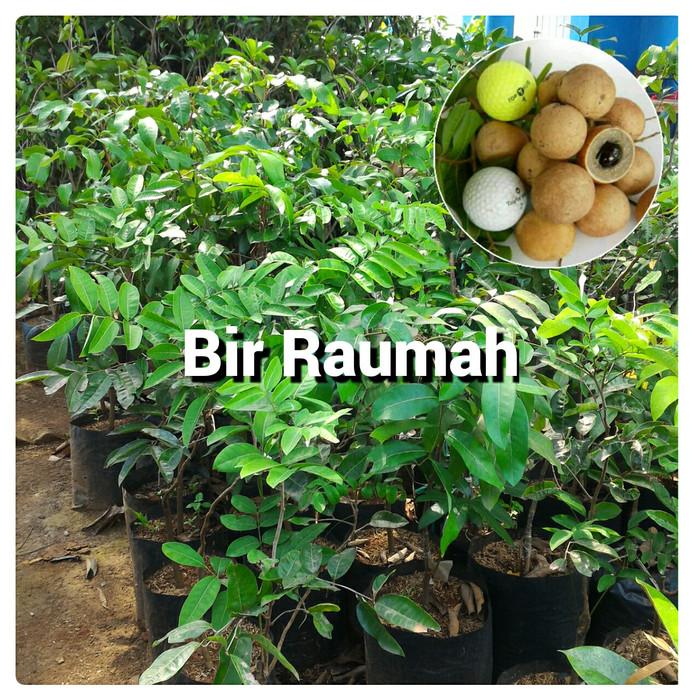 harga Bibit pohon kelengkeng pingpong lengkeng pimpong Tokopedia.com