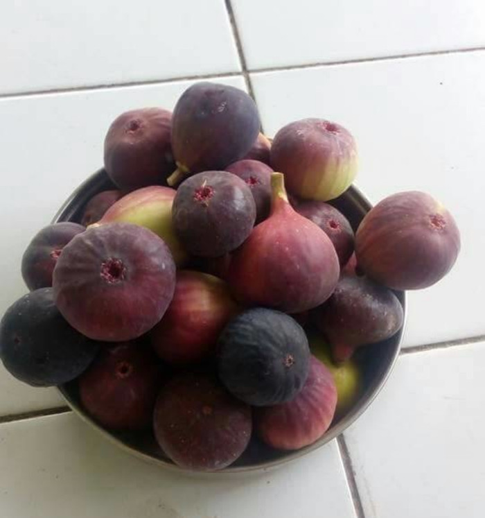 Bibit Buah Tin Merah Ungu Red Libya