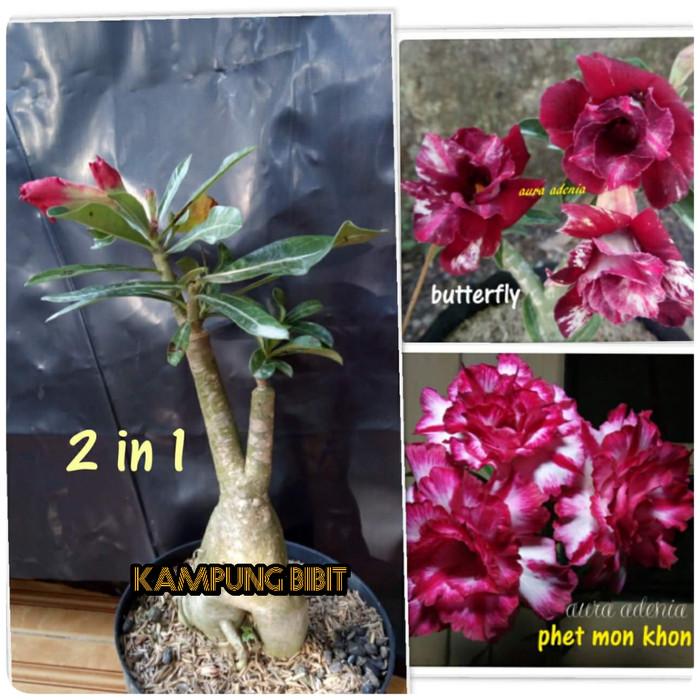 harga Bibit bunga kamboja/adenium 1 pohon 2 warna Tokopedia.com