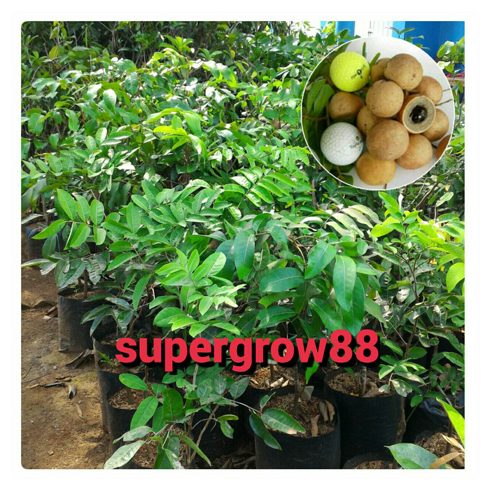 harga Bibit pohon kelengkeng pingpong atau pimpong Tokopedia.com